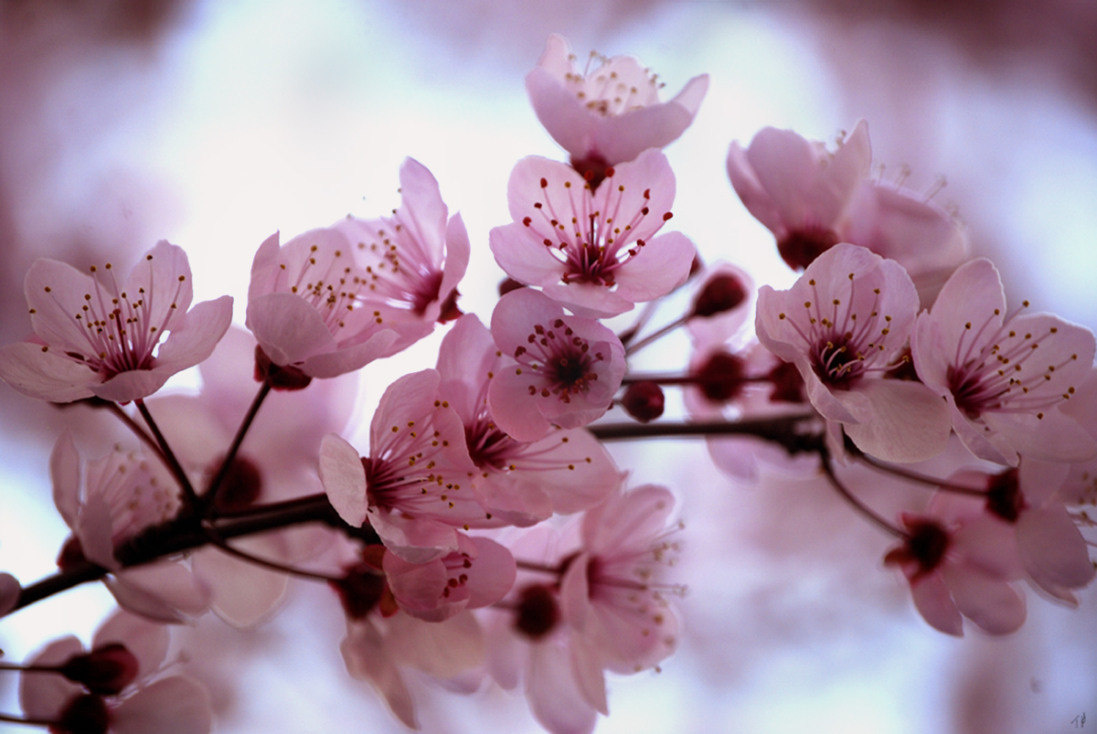 cherry blossom pictures - HD1200×803